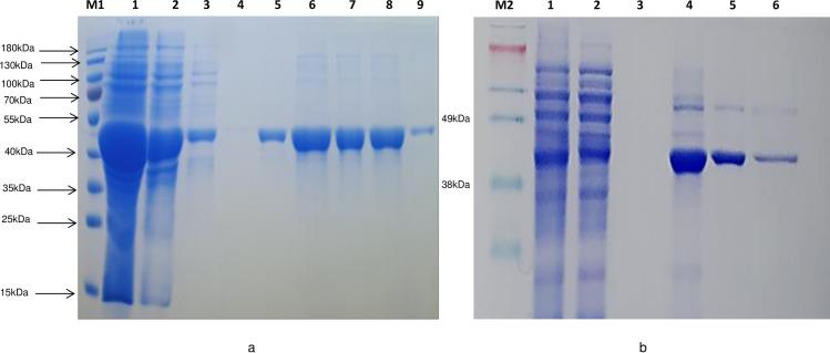 Purification of recombinant new glucarpidase relative to Ps CPG2. Coomassie blue staining of a 10% SDS-PAGE gel. M; Size markers in kiloDaltons; M1 is PageRuler Prestained Protein Ladder (10 to 180 kDa) and M2 is SeeBlue Plus prestained standard (↱3 to 198 kDa). a) Xen CPG2 purification; lane 1 is total soluble fraction of glucarpidase after centrifugation; 2, flow through; 3–4, wash 1 and wash 5; 5–9, eluted fractions from the Ni-NTA column with 400 mM imidazole. b) Ps CPG2 purification; lanes 1, 2, 3 are total, flow through, wash, lanes 4–6 are elution fractions.