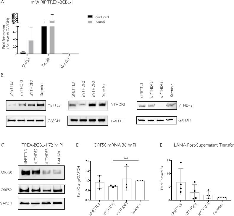 Increased viral gene expression upon m 6 A writer and reader depletion in TREX-BCBL-1 cells. (A) TREX-BCBL-1 cells were reactivated with dox for 72 hr, then total RNA was isolated and subjected to m 6 A RIP, followed by RT-qPCR for analysis of KSHV ORF50, GAPDH, and DICER. Values are displayed as fold change over input, normalized to the GAPDH negative control. Data are included from 3 biological replicates. (B-D) TREX-BCBL-1 cells were nucleofected with control scramble (scr) siRNAs or siRNAs specific to METTL3, YTHDF2, or YTHDF3, then lytically reactivated by treatment with dox, TPA and ionomycin for 72 hr. (B) Knockdown efficiency of the m 6 A proteins relative to the loading control GAPDH was visualized by western blot. (C) Levels of the KSHV ORF50 and ORF59 proteins were assayed by western blot in the control and m 6 A protein-depleted samples. Additional replicates are shown in S4 Fig . (D) ORF50 gene expression was analyzed by RT-qPCR from cells treated with the indicated siRNAs and reactivated for 36 hr with dox, TPA and ionomycin. (E) Viral supernatant from the reactivated control or m 6 A protein depleted TREX-BCBL-1 cells was transferred to uninfected HEK293T recipient cells, whereupon transfer of infection was quantified by RT-qPCR for the viral LANA transcript 48 hr post supernatant transfer. Individual data points represent 3 independent experiments. Unpaired Student's t test was used to evaluate the statistical difference between samples. Significance is shown for P values