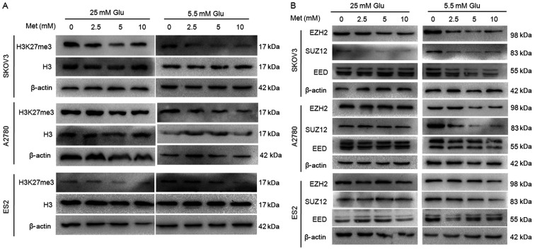 Metformin decreases H3K27me3 and expression of polycomb repressor complex 2 in ovarian cancer cells. The protein expression of (A) H3K27me3 and (B) EZH2, SUZ12 and EED in A2780, SKOV3 and ES2 cells were assayed by western blot analysis. Met, metformin; Glu, glucose; H3K27me3, <t>histone</t> H3 lysine 27 trimethylated; H3, histone H3; EZH2, histone-lysine N-methyltransferase EZH2; SUZ12, polycomb protein SUZ12; EED, polycomb protein EED.
