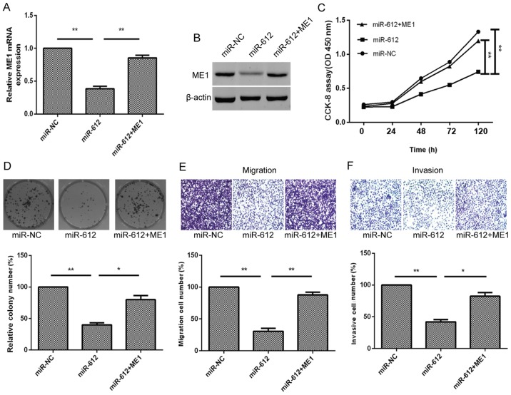 ME1 overexpression partially rescues the inhibitory effects of miR-612 expression on bladder cancer cells. (A) mRNA and (B) protein levels of ME1 in T24 cells co-transfected with miR-612 mimic or miR-NC, and with or without ME1 cDNA were measured using reverse transcription-quantitative polymerase chain reaction and western blot analysis, respectively. (C) Cell proliferation, (D) colony formation, (E) Transwell tumor cell migration and (F) Transwell tumor cell invasion assays in T24 cells co-transfected with miR-612 mimic or miR-NC, and with or without ME1 cDNA. * P
