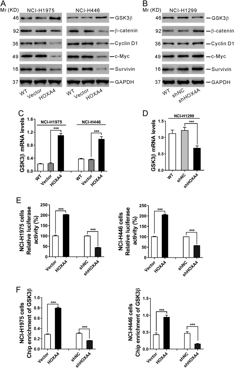 HOXA4 suppressed the Wnt signaling pathway in lung cancer cells. a , b Western blot analysis of GSK3β, β-catenin, Cyclin D1, c-Myc and Survivin in NCI-H1975 and NCI-H446 cells with HOXA4 overexpression ( a ) and NCI-H1299 cells with HOXA4 silencing ( b ). GAPDH was used as a loading control. c , d qRT-PCR analysis of GSK3β mRNA levels in NCI-H1975 and NCI-H446 cells with HOXA4 overexpression ( c ) and NCI-H1299 cells with HOXA4 silencing ( d ). e A luciferase reporter assay was performed to evaluate GSK3β promoter activity in NCI-H1975 and NCI-H446 cells with HOXA4 overexpression or silencing. f ChIP-qPCR for the GSK3β promoter in NCI-H1975 and NCI-H446 cells with HOXA4 overexpression or silencing. *** P