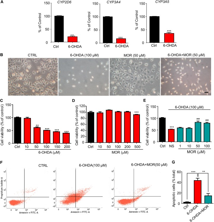 Morphine protected SH-SY5Y human neuroblastoma cells against 6-OHDA–induced cell apoptosis. (A) RT-qPCR analysis of the mRNA expression of CYP2D6 , CYP3A4 and CYP3A5 following 6-OHDA treatment. ∗∗∗ P
