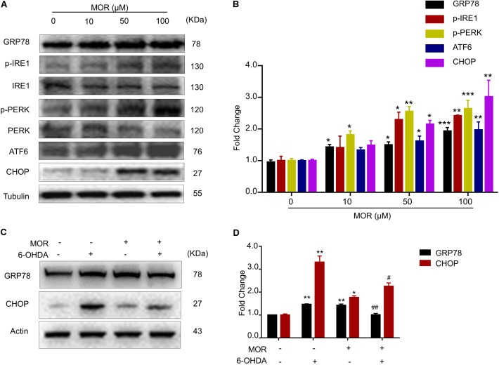 Morphine suppressed 6-OHDA-induced ER stress through activation of UPR. (A,B) Morphine induced UPR in SH-SY5Y cells. Protein levels of GRP78, p-IRE1α, IRE1α, p-PERK, PERK, ATF6, CHOP and Tubulin in SH-SY5Y cells were analyzed (A) and quantified (B) by western blot. ∗ P