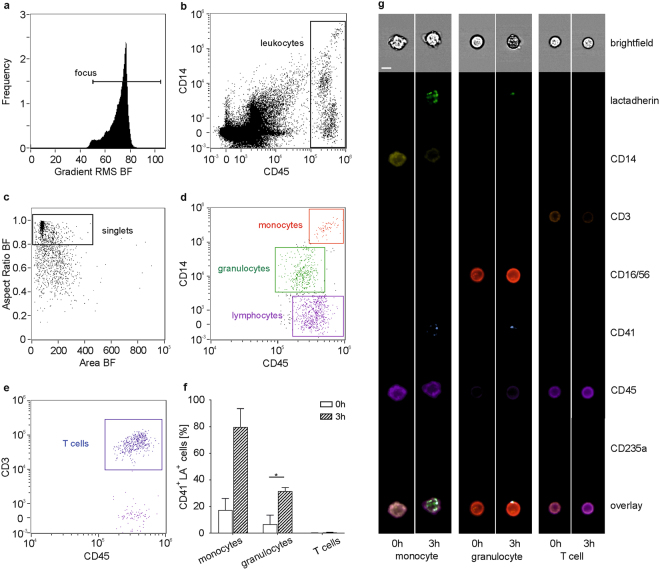 Visualization of EV-immune cell interactions using imaging flow cytometry. Imaging flow cytometry was performed after staining of blood cells using CD45-PB and CD14-PE as monocyte markers, CD16/56-PC5 as granulocyte and NK cell marker, and CD3-ECD as T cell marker. EVs were traced with lactadherin (LA)-FITC and CD41-PC7 for platelet EVs as well as with lactadherin-FITC and CD235a-APC-AF750 for red blood cell EVs as described in the Methods section. (a) Cells in focus were selected (gradient RMS_BF > 50); (b) leukocytes were identified within the focused events based on their expression patterns of CD45 and CD14; (c) a scatter plot of aspect ratio and area in bright field (BF) was used to define single cells within double positive focused events (aspect ratio > 0.8); (d) monocytes, granulocytes, and lymphocytes were identified based on their expression of CD45 and CD14 as described in the Methods section; (e) T cells were discriminated based on their expression of CD3 vs . CD45; (f) monocytes and granulocytes interacted with platelet EVs, whereas no association of EVs with T cells was detected; (g) EVs were identified as CD41 + lactadherin + events for platelet origin or CD235a + lactadherin + events for red blood cell origin. Statistical significance was assessed using the Wilcoxon matched-pairs signed rank test for monocytes and T cells (not normally distributed data) or paired t -test for granulocytes (normally distributed data). n = 3, p ≤ 0.05. The whole panel including monocytes, granulocytes, NK cells, T cells, and B cells is shown in Supplementary Fig. S2 . Scale bar, 7 µm.