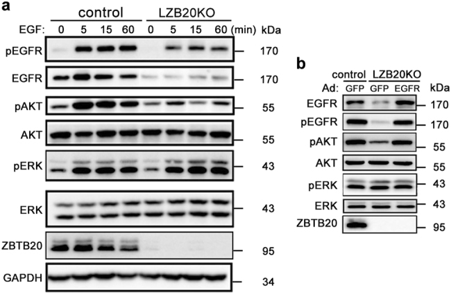 Impaired <t>EGFR</t> signaling pathway in ZBTB20-deficient hepatocytes can be corrected by EGFR overexpression. a Primary hepatocytes from LZB20KO and control mice were stimulated with <t>EGF</t> (1 ng/ml) for indicated times following 12 h of serum starvation, and the expression and phosphorylation of EGFR, ERK, and AKT were analyzed by western blot. b Hepatocytes were infected with adenoviruses Ad-EGFR or Ad-GFP (MOI = 10) at 24 h prior to 12 h of serum starvation, and followed by EGF stimulation for 5 min. The expression and phosphorylation of EGFR, ERK, and AKT were analyzed by western blot