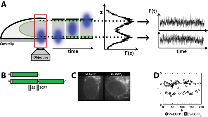 FFS and brightness analysis in the NE. (A) Identification of the dorsal (NE D ) and ventral (NE V ) NEs in a cell expressing EGFP-tagged NE proteins by z-scan FFS. Fluorescence intensity fluctuations are measured at either NE. (B) Constructs used in this figure. (C) Representative epifluorescence images of U2OS cells expressing the indicated constructs. Scale bar: 5 μm. (D) Brightness analysis of the cells described in C. Each data point represents the average b measured in a single cell.