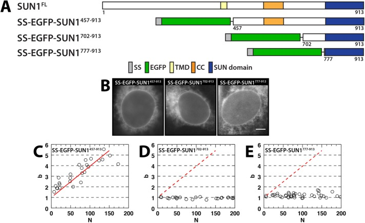 SUN1 oligomerization in the NE. (A) Constructs used in this figure. (B) Representative epifluorescence images of U2OS cells expressing the indicated constructs. Scale bar: 5 μm. (C–E) Plots of b vs. N for the indicated constructs. The data in C were fitted to a linear regression (solid red line), which is shown in D and E (dashed red line).