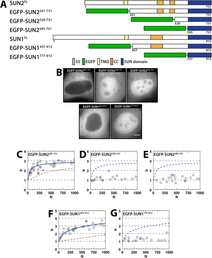 SUN1 and SUN2 oligomerization in the cytoplasm. (A) Constructs used in this figure. (B) Representative epifluorescence images of U2OS cells expressing the indicated constructs. Scale bar: 5 μm. (C–G) Plots of b vs. N for the indicated constructs. The data in C were fitted to a trimeric binding model (solid blue line), which is shown in D and E (dashed blue line) with K MD = 8000 (60 μM) ± 4000 and K DT = 0.3 (0.002 μM) ± 0.2. The data in F were fitted to a monomer/trimer/hexamer binding model (solid blue line) with K MT = 100 (0.7 μM) ± 60 and a trimer–hexamer dissociation coefficient K TH = 1500 (10 μM) ± 400, which is then shown in G (dashed blue line). Estimated binding curves (dashed red lines) for the data obtained in the NE for the indicated constructs are presented in C and F by converting N from the NE to its cytoplasmic value.