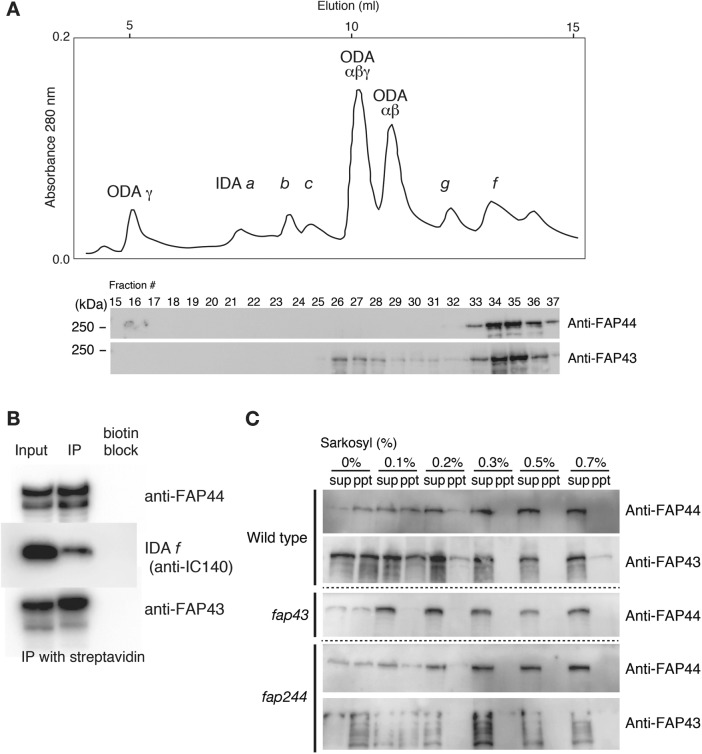 Biochemical characterization of the tether complex. (A) Chromatographic separation of the axonemal salt extracts from FAP44C strain using an UnoQ anion-exchange column. The dynein species of each peak was identified according to the previous study ( Furuta et al. , 2009 ). FAP44 and FAP43 were detected using immunoblotting. Comigration of IDA f with FAP44 and FAP43 was clearly observed. (B) Immunoprecipitation of the FAP44 protein. Fractions containing purified IDA f , FAP44, and FAP43 were collected and BCCP-tagged FAP44 proteins were immunoprecipitated (IP) using streptavidin-agarose. As a negative control (biotin block), the streptavidin-agarose was blocked with 1 mM biocytin (biotin-lysine). IDA f was detected using the IC140 antibody. IDA f and FAP43 were co-immunoprecipitated with FAP44. (C) Sarkosyl fractionation of axonemal proteins. Axonemal proteins were extracted with various concentration of sarkosyl. Supernatant (sup) and precipitate (ppt) after centrifugation were analyzed by immunoblotting. Although the phenotypes of fap43 and fap244 are virtually wild type, extraction patterns showed destabilization of the tether complex.