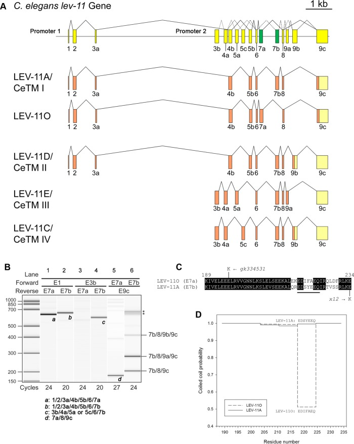 Characterization of mutually exclusive seventh exons of the C. elegans lev-11 tropomyosin gene. (A) Structure of the lev-11 gene is shown schematically (top) with numbered boxes indicating exons. Recently characterized alternative exons 7a and 7b are shown in green. Below the gene structure are splicing patterns of LEV-11A/CeTMI, a newly identified isoform, LEV-11O, and three previously characterized isoforms, LEV-11D/CeTMII, LEV-11E/CeTMIII, and LEV-11C/CeTMIV. Coding and noncoding regions are shown in orange and light yellow, respectively. Note that exon 9c is used in all known isoforms either as a coding region (LEV-11A and LEV-11O) or as a noncoding region when 9a or 9b is used as a coding region (LEV-11C, LEV-11D, and LEV-11E). (B) Analysis of lev-11 mRNAs by RT-PCR. Total RNAs from synchronized wild-type L1 larvae were subjected to RT-PCR with indicated primer pairs and cycle numbers, and the PCR products were analyzed with a 2100 BioAnalyzer (Agilent). DNA size markers are shown on the left. Results are shown in gel-like presentations. Exon combinations of representative bands a–d are shown below. Multiple bands in E7b/E9c (lane 6) were cloned and sequenced, and the exon combinations are indicated on the right. Asterisks indicate artificial PCR products due to excessive cycles. (C) Alignment of amino acid sequences encoded by exons 7a and 7b. Identical residues are indicated with black backgrounds. Point mutations in lev-11(gk334531) and lev-11(x12) are shown at the top and bottom of the sequences, respectively. (D) Probability of coiled-coil formation (0–1) was calculated from the full-length sequences of LEV-11A and LEV-11O by COILS ( Lupas et al. , 1991 ), and plots of exon 7-coded regions are shown.