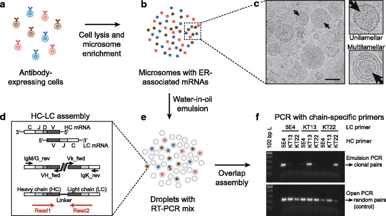 Overview of paired antibody HC-LC amplification using microsomes in water-in-oil emulsion droplets. a Antibody-expressing cell populations were used for microsome preparation. b Cells were lysed using a sucrose buffer with 5% digitonin and microsomes with rER-associated mRNAs were enriched using differential centrifugation. c Transmission electron microscopy showed enriched rER microsomes with multilamellar and unilamellar structures. The image was acquired from HEK 293T microsomes used for establishment of the method. Scale bar represents 100 nm. d HC and LC mRNAs were assembled by overlap extension RT-PCR to generate natively paired HC-LC amplicons using constant region primers for reverse transcription and variable region primers for overlap extension assembly. The location and orientation of the paired-end MiSeq reads on the amplicons are indicated by red arrows . e The assembly reaction was carried out within individual emulsion droplets with microsomes from single cells for clonal assembly of rER-associated mRNAs. f Nested PCR amplification with <t>hybridoma-specific</t> nested primers on the assembled DNA demonstrated strong enrichment of native HC-LC pairs when using emulsion PCR during the assembly reaction ( upper panel ), while a control showed random pairing of heavy and light chains when using conventional open PCR during the assembly reaction