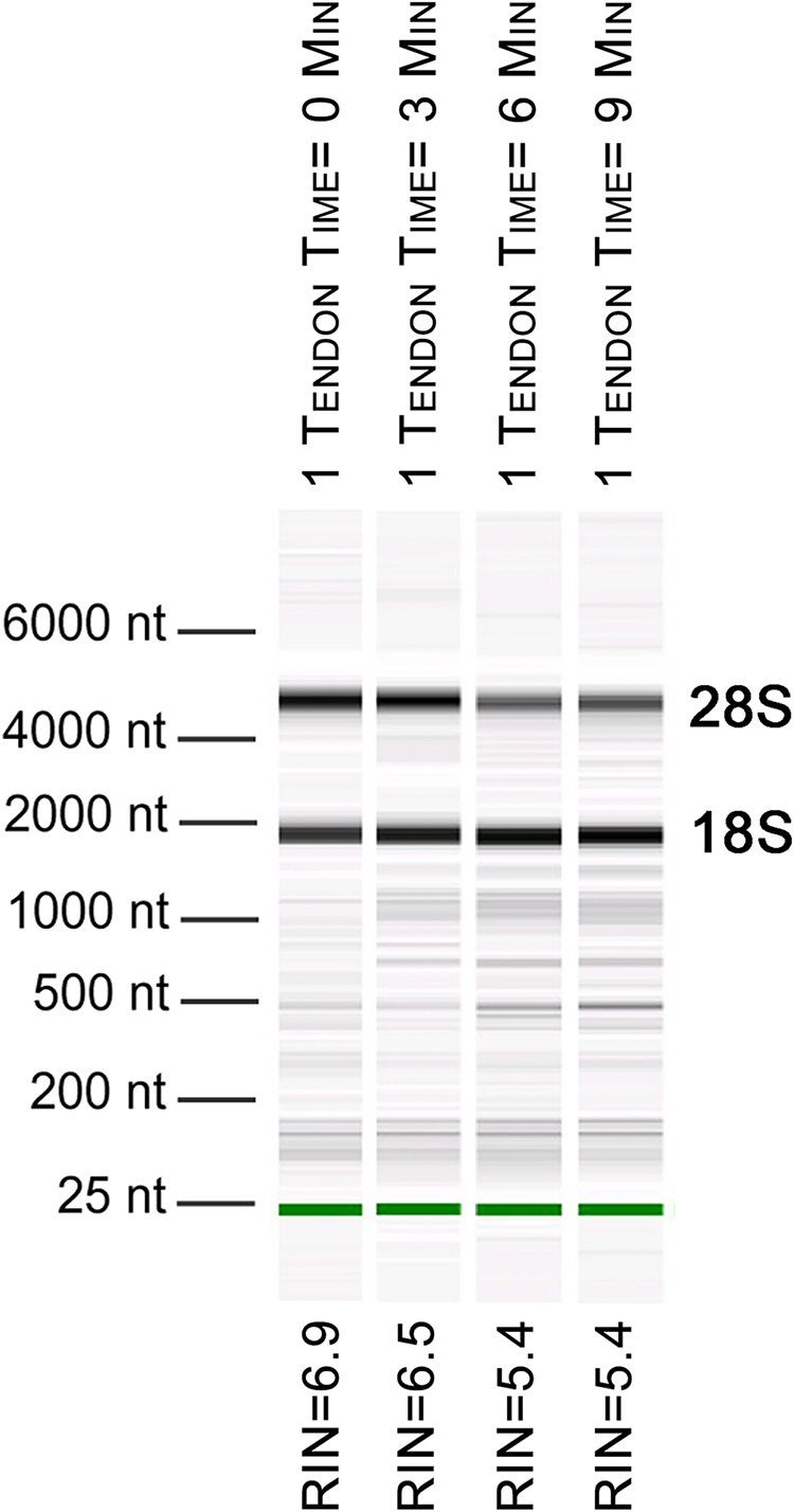 Length of time between dissection and processing affects <t>RNA</t> integrity. Electropherogram digital gel via <t>Bioanalyzer</t> shows integrity of RNA isolated from single Achilles tendons that were kept on ice for various lengths of time (0, 3, 6, 9 min) before homogenization. All were homogenized for 360 s. Longer wait times prior to homogenization reduce RNA quality. 18S and 28S are indicated and the green band is a marker.