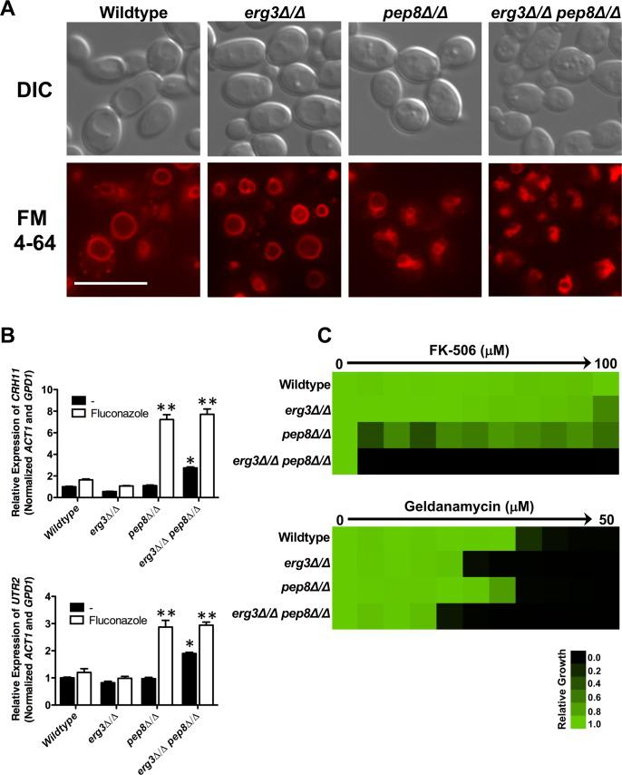 Loss of PEP8 results in abnormal vacuolar morphology and overwhelms the functional capacity of calcineurin. A) Strains of C . albicans were grown to log-phase prior to staining with membrane dye FM4-64. Images were captured using differential interference contrast (DIC) microscopy and fluorescence microscopy with a TRITC/DsRED filter set on a Zeiss Axio Observer.Z1 (Carl Zeiss) using 100x magnification. Scale bar represents 10 μm. B) Deletion of PEP8 increases fluconazole-induction of two calcineurin-dependent transcripts, UTR2 and CRH11 . Transcript levels were monitored by qRT-PCR and normalized to ACT1 and GPD1 . Error bars represent standard error of the mean for triplicate samples. Treatment conditions were compared using a one-way ANOVA with Bonferroni post-test. Double asterisk indicates a significant difference in transcript level relative to both wildtype with fluconazole and erg3Δ/erg3Δ strain plus fluconazole. (** P