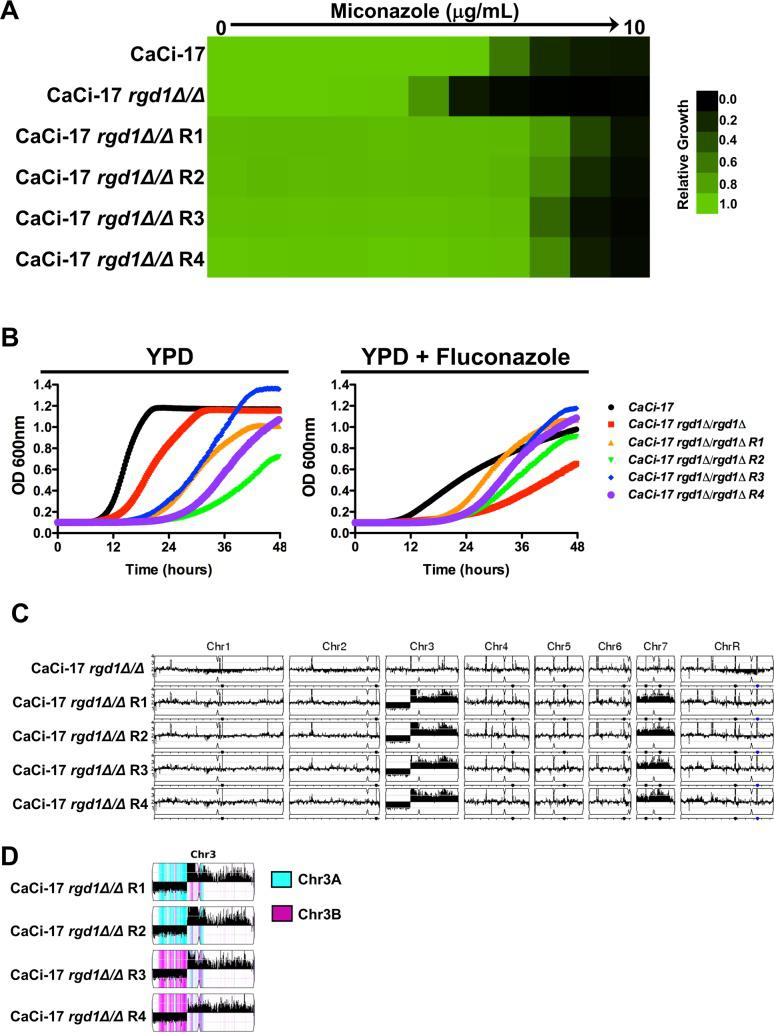 Whole genome sequencing identifies aneuploidies that are associated with the restoration of azole resistance to a C . albicans clinical isolate lacking RGD1 . A) RGD1 was deleted from a clinical isolate obtained late in treatment from a patient undergoing fluconazole therapy (CaCi-17). Resistant mutants were obtained by plating 2x10 8 cells on YPD plates containing a high concentration of miconazole. Spontaneous mutants were selected after 5 days at 30°C. Azole resistance of the mutants was verified by MIC assay. Cells were grown as described in Fig 1 . Growth was measured after 48 hours. B) Spontaneous azole resistant mutants show fitness defect in the absence of the selective pressure but show enhanced growth in the presence of fluconazole. Strains were grown in the absence or presence of 128 μg/mL fluconazole. Growth was assessed by OD 600 measurements every 15 minutes for 48 hours in a Tecan plate reader. C) Copy number variation was analyzed using the Y MAP pipeline. Amplification of chromosome 7 as well as a portion of chromosome 3 occurred in all independent spontaneous resistant mutants. D) Chromosome 3 haplotype map analyzed using Y MAP . The monosomic region of Chr3L was generated from different haplotypes in the four azole-resistant isolates: haplotype A (Cyan) in isolates R1 and R2, and haplotype B (magenta) in isolates R3 and R4.