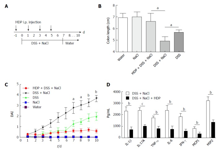 Depletion of macrophages reduces the severity of DSS-induced colitis promoted by NaCl. A: Clodronate liposomes (denoted as MDP) or control PBS-liposomes (denoted as PBS) were administrated intravenously to all mice, as the schematic protocol indicated during DSS and NaCl treatment; B: The disease activity index was monitored daily; C: Colon length was measured in each group of mice ( n = 10); D: Colon explants were cultured for 24 h and the inflammatory cytokines in supernatants were detected by enzyme-linked immunosorbent assay ( n = 3). a P