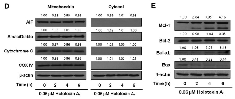 Holotoxin A 1 induces apoptosis through extrinsic pathway activation in human leukemic cells. ( A ) Analysis of the mechanism underlying apoptosis. Western blot of K562 cell proteins after treating cells with 0.06 μM holotoxin A 1 shows changes in protein levels over time. β-actin served as a loading control. This blot is representative of three separate experiments. Densitometry values above the bands indicate the fractional changes in protein levels, compared to initial levels at time 0; ( B ) Functional involvement of caspases in holotoxin A 1 -induced apoptosis in K562 cells. Cells were pretreated for 1 h with the pan-caspase inhibitor Z-VAD-FMK (25 μM), the caspase-8 inhibitor Z-IETD-FMK (20 μM), the caspase-9 inhibitor Z-LEHD-FMK (20 μM), or the caspase-3 inhibitor Z-DEVD-FMK (50 μM), followed by treatment with 0.06 μM holotoxin A 1 for 6 h. (Upper panel) Representative flow cytometry results indicate the extent of apoptosis (Lower panel) The mean ± SD of three independent experiments. ** p