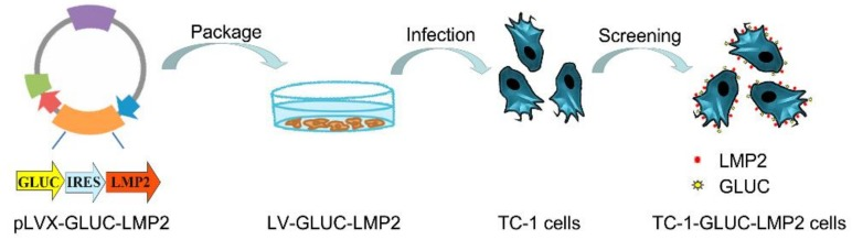 Schematic demonstrating TC-1-GLUC-LMP2 cell construction. Latent membrane protein 2 ( LMP2 ) genes, internal ribosome entry site ( IRES ) and Gaussia luciferase ( GLuc ) sequences were inserted into TC-1 cells.