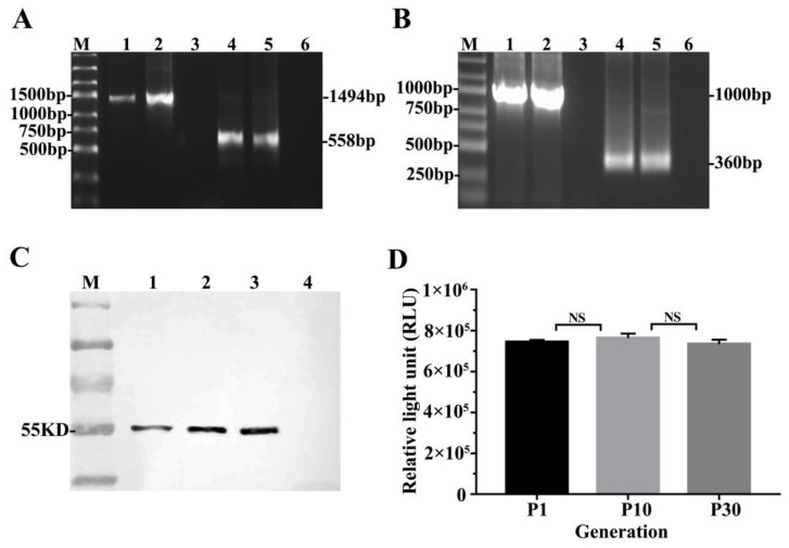 The LMP2 and GLuc detection result in TC-1-GLUC-LMP2 cells. ( A ) PCR results of LMP2 and GLuc amplification using the TC-1-GLUC-LMP2 cells genomic DNA as a template. M: DNA ladder; 1: TC-1-GLUC-LMP2 cells as template using primers for LMP2 ; 2: DNA of pVR-LMP2 plasmid; 3: genomic DNA of TC-1 cells; 4: TC-1-GLUC-LMP2 cells as template using primers for GLuc; 5: DNA of pCMV-Gaussia Luc; 6: genomic DNA of TC-1 cells; ( B ) RT-PCR results to verify GLuc and LMP2 mRNA expression. M: RNA ladder; 1: RT-PCR result using TC-1-GLUC-LMP2 as template amplifying LMP2 ; 2: 293 cells transfected with pVR-LMP2 as template amplifying LMP2 ; 3: TC-1 cells as template amplifying LMP2; 4: RT-PCR result using TC-1-GLUC-LMP2 as template amplifying GLuc ; 5: 293 cells transfected with pCMV-Gaussia Luc as template amplifying GLuc ; 6: TC-1 cells as template amplifying GLuc ; ( C ) Western blot results of LMP2 protein expression in TC-1-GLUC-LMP2 cells at different passages. M: PageRuler Prestained Protein Ladder; 1: Passage 1 TC-1-GLUC-LMP2 cells, LMP2 with a molecular weight of 55 KD; 2: Passage 10 TC-1-GLUC-LMP2 cells; 3: Passage 30 TC-1-GLUC-LMP2 cells; 4: TC-1 cells; ( D ) Identifying the stable expression of GLuc . The mean relative light unit (RLU) value of 10 4 TC-1-GLUC-LMP2 cells at passages 1, 10 and 30 were 7.44 × 10 5 , 7.63 × 10 5 and 7.34 × 10 5 . NS, no significant difference; each column represents mean ± SD ( n = 5) in ( D ).