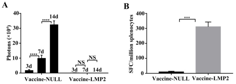 TC-1-GLUC-LMP2 tumor challenge with LMP2-associated vaccine in vivo. ( A ) The number of tumor photons in the vaccine-NULL or vaccine-LMP2-immunized mice were detected at three, seven, 14 days with the in vivo imaging system (IVIS); ( B ) The LMP2-specific immune response was analyzed by ELISPOT after TC-1-GLUC-LMP2 tumor cells inoculation 14 days. *** p