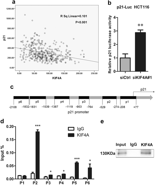 KIF4A inhibits the transcription of p21. a Analysis of the relationship between KIF4A expression and p21 mRNA levels in CRC patient tissues from GSE41258. b The p21 promoter (−2400/+11) activity was increased by KIF4A knockdown in HCT116 cells. c Full sequence of the human p21 promoter. p1–6 shows the regions of p21 promoter detected by the paired primers. d ChIP-qPCR analysis of KIF4A binding at p1, p2, p3, p4, p5, and p6 loci. e Western blot detection of KIF4A in the ChIP assay. Mean ± standard deviation of triplicate experiments are shown. * P