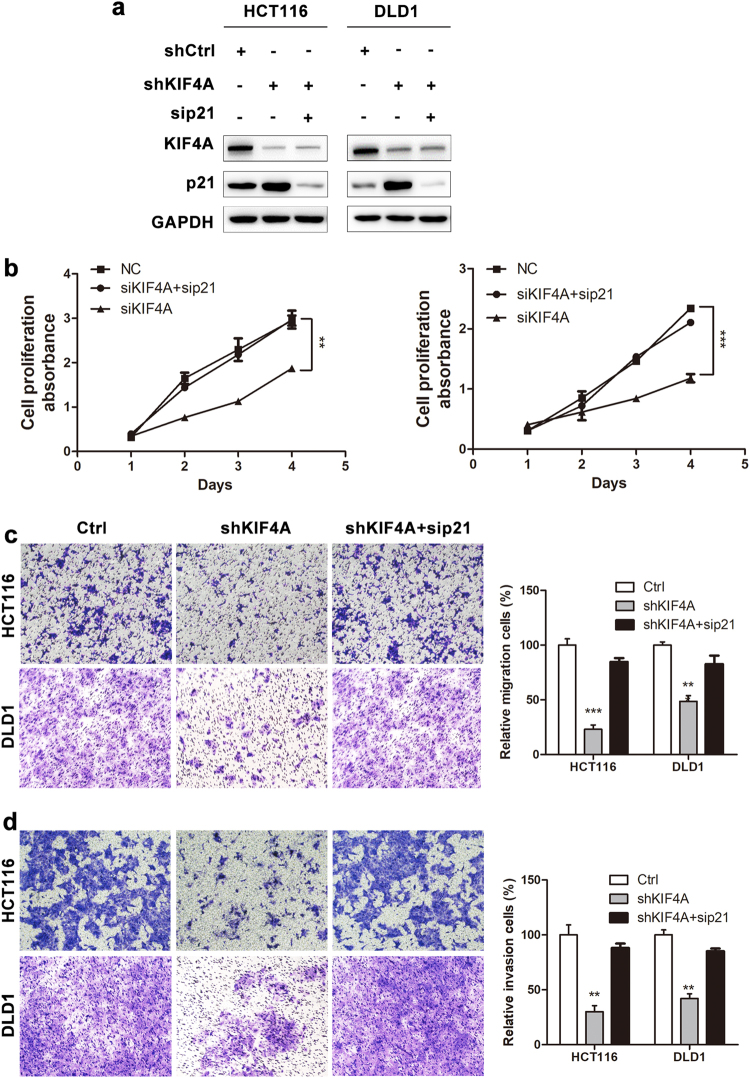 Downregulation of p21 reverses the inhibition of proliferation, migration, and invasion induced by KIF4A knockdown. a KIF4A and p21 knockdown in HCT116 and DLD1 stable cell line was confirmed at the protein level by western blotting. b – d The inhibition of proliferation, migration, and invasion caused by KIF4A knockdown was regressed by transient transfection of p21 siRNA in HCT116 and DLD1 stable cell lines. Data are shown as mean ± standard deviations from three independent experiments. * P