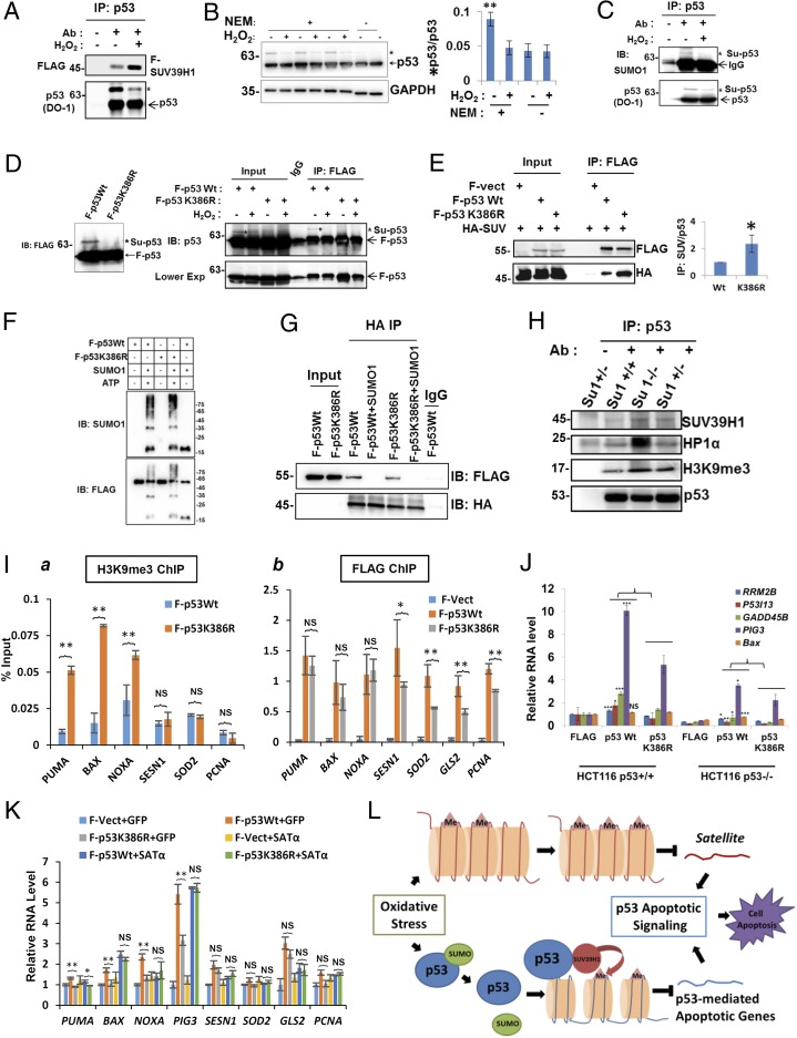 Desumoylation of p53 is needed for heterochromatin-mediated p53 target gene repression. ( A ) <t>FLAG-SUV39H1</t> was transfected into hRPE cells. The endogenous p53 protein was precipitated by p53 antibody DO-1, and a 67-kDa form of p53 was detected (labeled with *). The co-IP experiment was conducted in the presence of a desumoylation inhibitor, 20 mM NEM. ( B ) The 67-kDa p53 decreases on OS exposure. WB analysis showing the conventional p53 and a 67-kDa species. Quantification of the percentage of the 67-kDa p53 species (*p53) relative to the total p53. n = 3. ** P