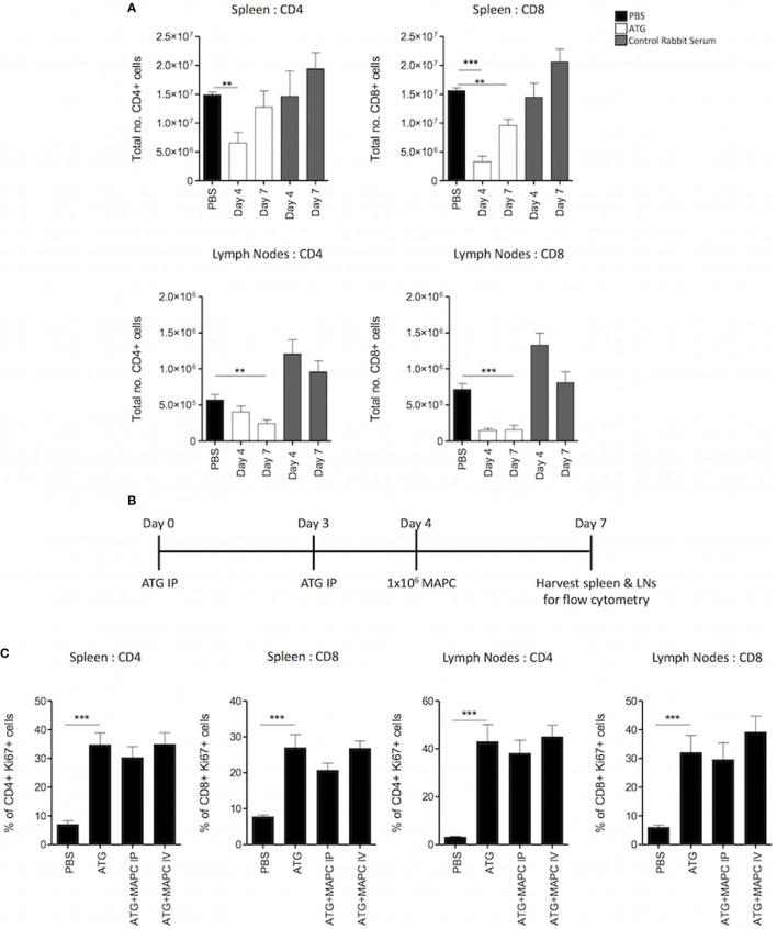 Multipotent adult progenitor cells (MAPC) have no effect on T cell proliferation following lymphodepletion. 50 mg/kg anti-thymocyte globulin (ATG) was administered intraperitoneally (IP) on days 0 and 3. (A) Spleens and lymph nodes were harvested on days 4 and 7, and total numbers of CD4 + and CD8 + cells were quantified using counting beads and flow cytometry. (B) Schematic timeline of experiments with MAPC (1 × 10 6 ) administration [IP or intravenously (IV)] to the ATG model on day 4. (C) MAPC administered IV or IP had no effect on the proliferation of either CD4 + or CD8 + T cells in the spleens and lymph nodes following ATG administration (spleens; PBS: n = 10, ATG: n = 10, ATG + MAPC IP: n = 10, and ATG + MAPC IV: n = 8 and lymph nodes; PBS: n = 8, ATG: n = 10, ATG + MAPC IP: n = 9, and ATG + MAPC IV: n = 10). Results are indicative of two independent experiments using two MAPC donors. *