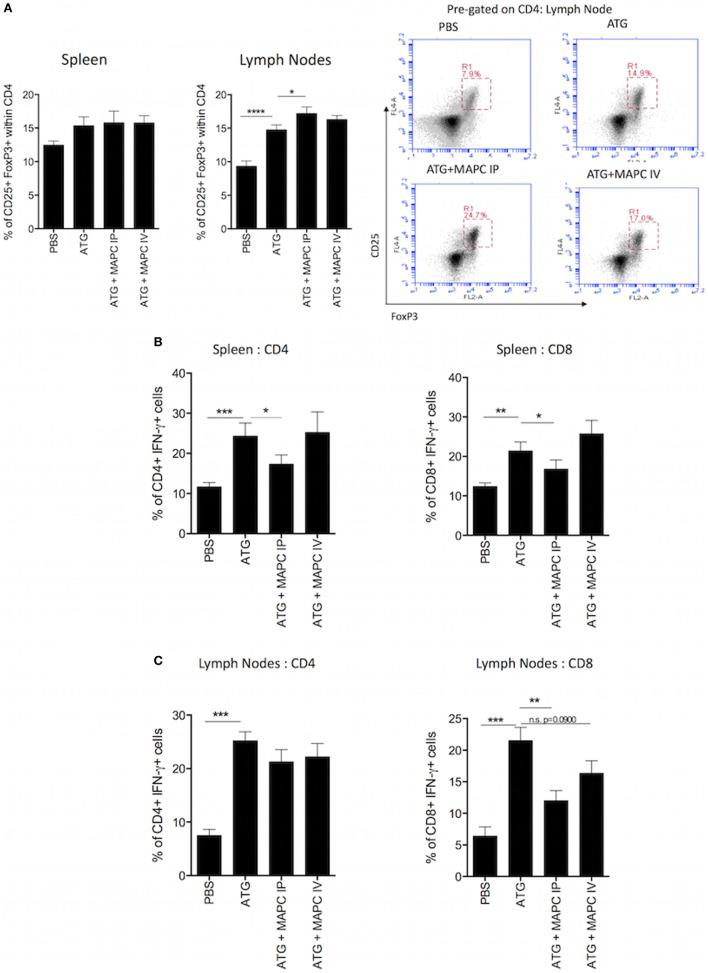 Multipotent adult progenitor cells (MAPC) promote Treg frequency and suppress interferon-γ (IFN-γ) production by T cells following lymphodepletion. (A) Bar graph and representative FACS plots demonstrate that anti-thymocyte globulin (ATG) increased the frequency of CD4 + , CD25 + , and FoxP3 + T cells in the spleen and lymph nodes, and MAPC cells administered intraperitoneally (MAPC IP) further increased this in the lymph nodes [PBS: n = 13, ATG: n = 13, ATG + MAPC IP: n = 11, and ATG + MAPC cells administered intravenously (MAPC IV): n = 13]. (B) MAPC IP reduced the frequency of IFN-γ producing CD4 + and CD8 + T cells in the spleen (PBS: n = 8, ATG: n = 10, ATG + MAPC IP: n = 10, and ATG + MAPC IV: n = 10). (C) MAPC IP reduced the frequency of IFN-γ producing CD8 + T cells but not CD4 + T cells in the lymph nodes (PBS: n = 12, ATG: n = 10, ATG + MAPC IP: n = 11, and ATG + MAPC IV: n = 10). Results are indicative of two independent experiments using two MAPC donors. * p
