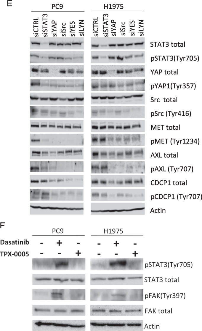 Effects of the double combination of gefitinib or osimertinib with TPX-0005 in EGFR -mutation-positive NSCLC cells. A. Extracts from the PC9 cell line treated with gefitinib (0.05 μM), TPX-0005 (1 μM), or the double combination for 24 h, were analyzed using the indicated antibodies. Similar results were obtained in three independent experiments. B. Representative immunofluorescence images showing total STAT3 and phospho-STAT3 expression and localization (green) in control, gefitinib, TPX-0005 and gefitinib plus TPX-0005 treated PC9 cells. Cell nuclei were stained with DAPI (blue). Right: expression levels and nuclear translocation of phospho-STAT3 were quantified using an ImageStreamX imaging flow cytometer. C. Extracts from PC9, 11–18 and H1975 cell lines treated with osimertinib (0.05, 0.8, and 0.02 μM respectively), TPX-0005 (1 μM), or osimertinib combined with TPX-0005 for 24 h, were analyzed by Western blotting using the indicated antibodies. β-Actin was used as a loading control. Similar results were obtained in three independent experiments. D. Heatmap depicts the mRNA expression of genes (columns) in control cells and after indicated treatments (rows) compared to the average mRNA expression of each gene in all cell lines. Gefitinib was used at 0.05 μM for PC9, osimertinib was used at 0.02 μM for H1975 and TPX-0005 was used at 1 μM for both cell lines. Quantitative RT-PCR time course experiments from two hours to seven days identified five days as the optimal time-point to compare pathway signaling after treatments (data not shown) and subsequent mRNA expression experiments are presented at this time point for consistency. Data were generated from a minimum of three replicates. β-Actin was used to normalize gene expression. E. Extracts from the PC9 and H1975 cell lines transfected with control siRNA or siRNA against STAT3, Src, YAP1, YES and LYN, were analyzed using the indicated antibodies. Similar results were obtained in three independent experiments. F. Extracts from the PC9 and H1975 cell lines treated with dasatinib (50 and 100 μM respectively) or TPX-0005 (1 μM) for 24 h, were analyzed by Western blotting using the indicated antibodies. Similar results were obtained in three independent experiments.