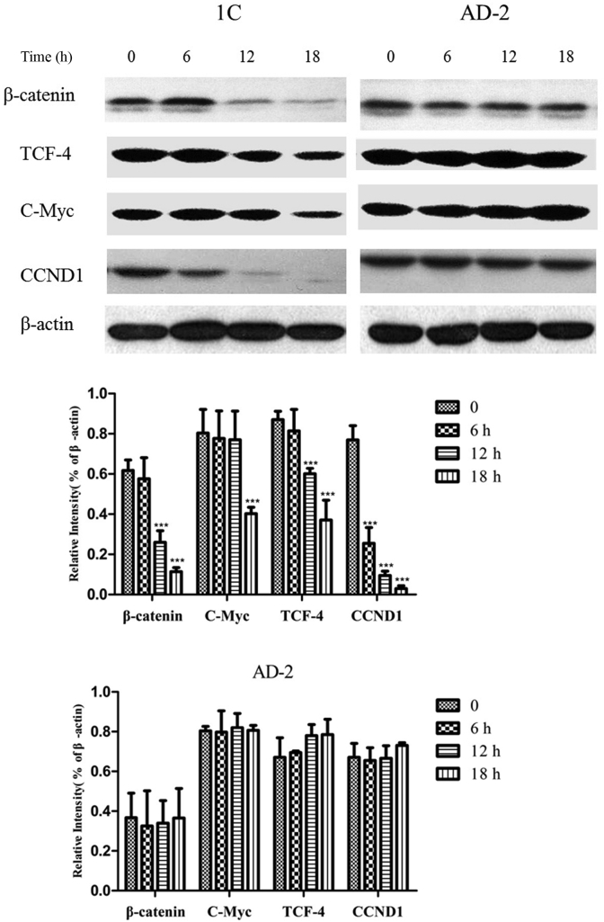 1C inhibited <t>Wnt/β-catenin</t> signaling pathway. The expression levels of Wnt/β-catenin signaling pathway involving proliferation were examined by Western blotting assay. Data are expressed as means ± SDs of triplicate experiments performed independently. ∗ p
