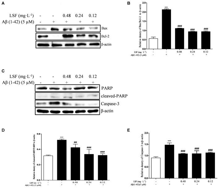 LSF attenuates apoptosis in Aβ(1-42)-induced BV-2 cells. BV-2 cells were pretreated with 5 μM Aβ(1-42) for 12 h, then followed with an incubation of 0.12–0.48 mg⋅L -1 LSF for another 12 h. Cell lysates were then harvested and analyzed for Bax/Bcl-2 (A) , <t>Caspase-3</t> (C) , and <t>cleaved-PARP/PARP</t> (C) , respectively. Band intensities of Bax/Bcl-2 (B) , cleaved-PARP/PARP (D) and Caspase-3 (E) were quantified using Image J software and normalized to β-actin. Bars are representatives of three independent experiments. ∗∗∗ P