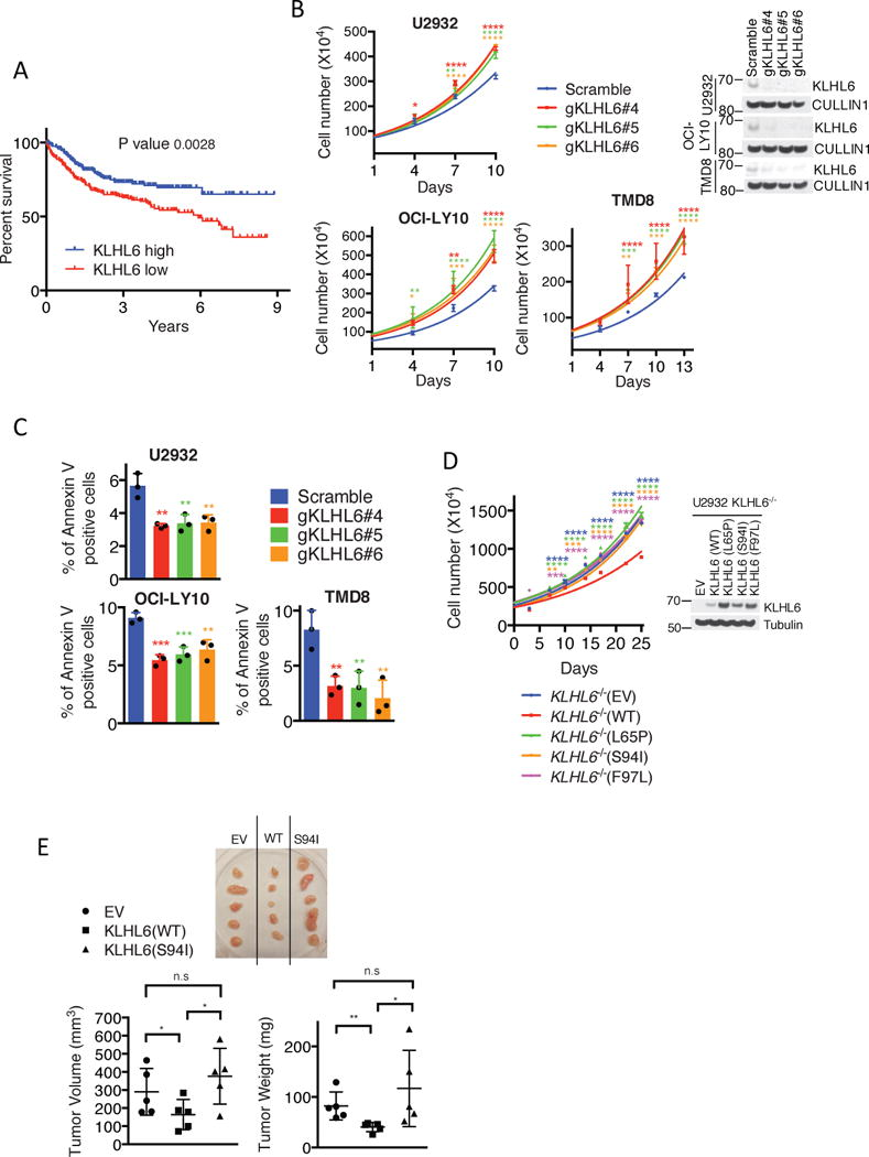 KLHL6 functions as a tumor suppressor in ABC-DLBCL by regulating its growth and survival (a) Kaplan–Meier analysis based on gene expression data for ABC-DLBCL tumors (GSE10846, GSE34171 and GSE3131239-41) is shown (n=367 patients). Censored subjects are indicated on the Kaplan-Meier cure as tick mark. Statistical analysis was performed using the Log-rank (Mantel-Cox), two-sided test, 95% confidence interval. (b) Cell counts of U2932-, OCI-LY10- and TMD8-Cas9 cells expressing the indicated gRNAs and carrying a puromycin cassette (mean±s.d., n=3 independent experiments, two-way ANOVA, *P value≤0.05; **P value≤0.01; *** P value≤0.001; ****P value≤0.0001) (left panel). Cells were grown in media containing 1μg/ml (U2932- and OCI-LY10) or 4μg/ml (TMD8) of F(ab′)2-IgM. Right panel shows immunoblot analysis of whole cell lysates. (c) Apoptosis analysis of U2932-, OCI-LY10-, and TMD8-Cas9 cells expressing the indicated gRNAs and carrying a GFP marker. Cells were grown as in (b) . Apoptosis was quantified on GFP + and Annexin V + cells (mean±s.d., n=3 independent experiments, one-way ANOVA, **P value≤0.01; *** P value≤0.001). (d) Left panel shows cell counts of GFP-sorted U2932 KLHL6 −/− (clone-derived) cells expressing empty vector (EV), KLHL6(WT) or BTB-mutants (L65P, S94I and F97L) and carrying a GFP marker (mean±s.d., n=3 independent experiments, two-way ANOVA, **P value≤0.01; *** P value≤0.001; ****P value≤0.0001). Right panel shows the immunoblot analysis of whole cell lysates. (e) Xenograft experiments with GFP-sorted U2932 KLHL6 −/− cells expressing an empty vector (EV), KLHL6(WT) or KLHL6(S94I) and carrying a GFP marker. Top panel shows the tumors at the experimental endpoint. Tumor volume (mean±s.d., n=5 mice per group, one-way ANOVA, *P value≤0.05; n.s, not significant) and tumor weight (mean±s.d., n=5 mice per group, one-tailed t-test, *P value ≤0.05; **P value ≤0.01; n.s, not significant) are shown in the bottom left and right, respectively. Unprocessed original scan of immunoblots for (b,d) are shown in Supplementary Fig. 8 , and statistical source data and exact P values for (a,b,c,d,e) can be found in Supplementary Table 6 . Unless otherwise noted, immunoblots are representative of three independent experiments.