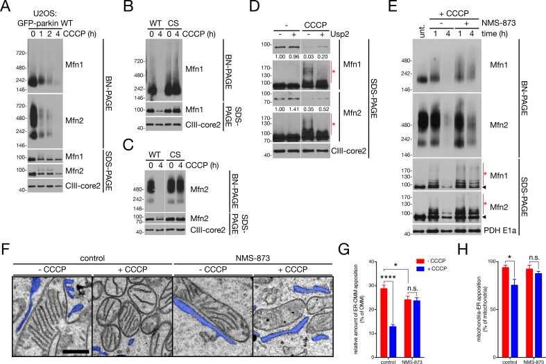 p97 governs ER-OMM contact via the extraction of Mfn2 complexes. ( A ) Immunoblot analysis of NP-40-solubilized mitochondria, isolated from U2OS:GFP-parkin WT cells treated with 20 μM CCCP for the indicated time, separated by blue native- (BN-) and SDS-PAGE. ( B, C ) Immunoblot analysis of Mfn1- ( B ) and Mfn2- ( C ) containing complexes in NP-40-solubilized mitochondria, isolated from U2OS:GFP-parkin WT and C431S cells treated with 20 μM CCCP for four hours, separated by BN- and SDS-PAGE. ( D ) Mitochondria isolated from U2OS:GFP-parkin WT cells treated with 20 μM CCCP for one hour were, after solubilization in NP-40, incubated with 1 μM Usp2 for 30 min at 37°C prior to separation by SDS-PAGE. Red asterisks indicate ubiquitinated species of Mfn1 and Mfn2. Densitometry calculations for the Mfn1 and Mfn2 bands (shorter exposure) relative to CIII-core2 are shown under the respective immunoblots. ( E ) Immunoblot analysis of NP-40-solubilized mitochondria, isolated from U2OS:GFP-parkin WT cells treated with 20 μM CCCP in the presence or absence of 25 μM NMS-873 for the indicated time, separated by blue native- (BN-) and SDS-PAGE. Red asterisks indicate ubiquinated Mfn species visible by SDS-PAGE, while the arrowhead denotes the unmodified band. ( F ) Representative TEM images of mitochondria in contact with ER (pseudocoloured blue) in U2OS:GFP-parkin cells treated with 20 μM CCCP ('+CCCP') for four hours in the presence or absence of 25 μM NMS-873. Scale bar, 500 nm. ( G,H ) Quantification of TEM from ( F ) in cells treated with (blue bars) or without (red bars) 20 μM CCCP for four hours. The percent of OMM per mitochondrion ( G ) and mitochondria per field ( H ) in contact with the ER was quantified. Bars represent mean ± SEM, n = 99 to 187 mitochondria in 12 to 14 fields per condition. n.s., not significant; *, p