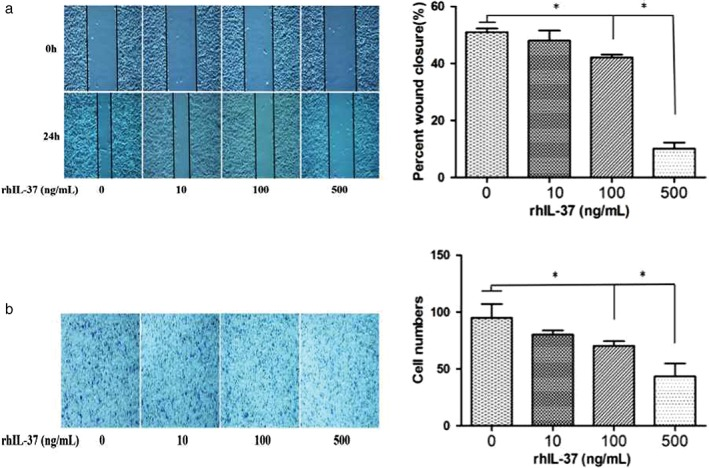 IL‐37 suppresses non‐small cell lung cancer (NSCLC) in a dose‐dependent manner. ( a ) Scratch wound healing and ( b ) Transwell invasion assay of A549 cells with different concentrations of rhIL‐37 protein (0, 10, 100, 500 ng/mL). * P