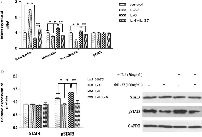 Gene expression in A549 cells under different treatments. ( a ) STAT3, E‐cadherin, vimentin and N‐cadherin messenger RNA (mRNA) expression in A549 cells was determined by RT‐PCR. ( b ) STAT3 and pSTAT3 protein expression in A549 cells was determined by Western blot. * P