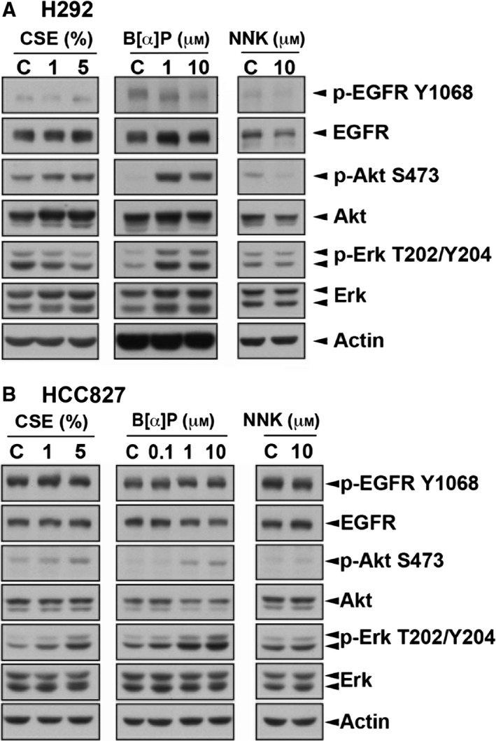 Activities of Akt and Erk were higher in CSE ‐ and B[α]P‐selected H292 cells. The activities and protein levels of EGFR and its downstream signaling Akt and ERK were detected in H292 (A) and HCC 827 (B) by western blot analysis with indicated antibodies.