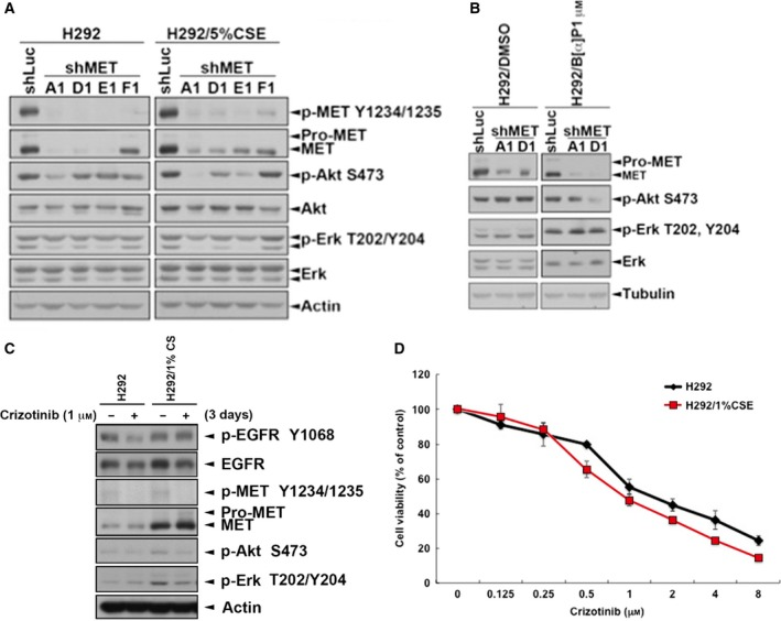 The activity of Akt was reduced by inhibition of c‐ MET in H292/ CSE and H292/B[α]P cells. c‐ MET expression was knocked down by sh RNA in H292/ CSE (A) and H292/B[α]P (B) cells for 3 days. (C,D) These stable clones were treated with 1 μ m crizotinib for 3 days. Total lysates were collected and subjected to western blots with indicated antibodies (C) and the cell viability was analyzed in MTT assay (D).
