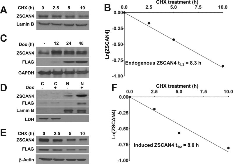 Human ZSCAN4 protein half-life A . Immunoblot analysis of ZSCAN4 in wild type (WT) Tu167 cells after treatment with cycloheximide (CHX) results in decreased ZSCAN4 protein. B. Protein half-life analysis indicates that endogenous ZSCAN4 protein half-life is 8.3 h. C. Immunoblot in tet-ZSCAN4 cell lines show addition of doxycycline (Dox+) to medium for 0–48 h results in ZSCAN4-FLAG induction in as early as 12 h. D. Cells fractionation to cytoplasmic (C) and nuclear (N) proteins, show the endogenous ZSCAN4 (anti-ZSCAN4) and FLAG-tagged ZSCAN4 (anti-FLAG), are localized to the nucleus. E. Immunoblot in isogenic (Dox+) tet-ZSCAN4 cells after treatment with CHX and F . Protein half-life analyses indicate that the ectopic ZSCAN4 half-life is 8.0 h. Images and results represent data of at least three independent experiments.