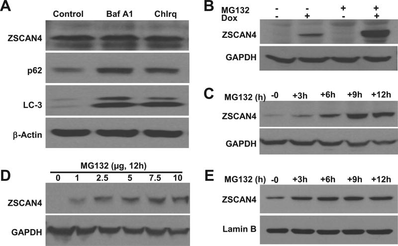 ZSCAN4 degradation is proteasome dependent A . Immunoblot analyses indicate that inhibition of autophagy with Bafilomycin A1 and Chloroquine results in accumulation of autophagy targets p62 and LC-3. However, ZSCAN4 was not affected. B. Induction of ZSCAN4 by Dox followed by treatment with the proteasomal inhibitor MG132 demonstrates ZSCAN4 accumulates in the cells. C–D. Kinetics experiments show that accumulation of ZSCAN4 following by MG132 treatment is time and dose dependent. E. Similar studies performed in WT cells show the accumulation of ZSCAN4 following MG132 treatment.