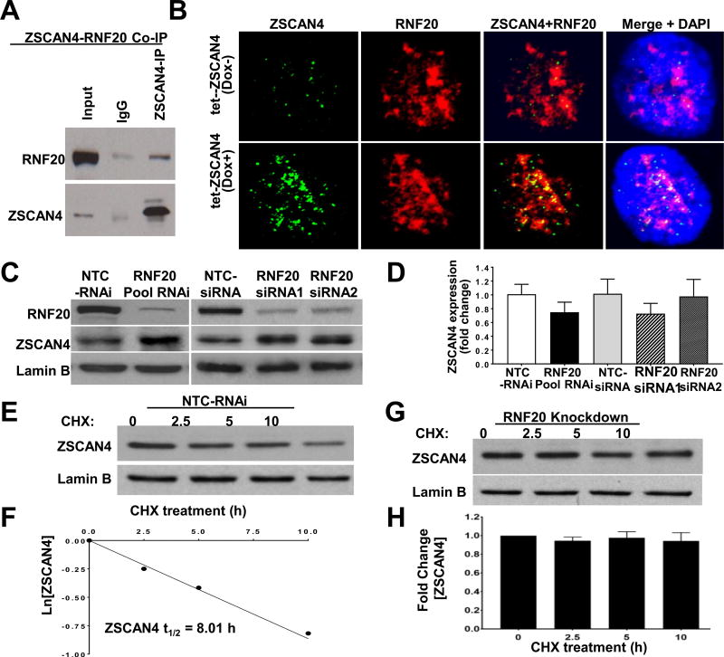 The E3 ubiquitin ligase RNF20 negatively regulates and interacts with ZSCAN4 A . Co-IP of ZSCAN4 and immunoblot with anti-RNF20 displays interaction. B. Confocal microscope images in untreated tet-ZSCAN4 cells (Dox−) show co-localization of RNF20 (red) and ZSCAN4 (green). DNA is stained with DAPI (blue). Furthermore, co-localization increases following ZSCAN4 induction (Dox+). C. Immunoblot analyses show successful RNF20 knockdown by SMARTpool siRNA and two different siRNA (RNAi 1 and RNAi 2) compared to non-template controls (NTC). Conversely, RNF20 depletion results in a significant increase in ZSCAN4. D. qRT-PCR analysis in RNF20 depleted by the indicated siRNAs show no significant change in ZSCAN4 expression compared to NTC-siRNA controls. E–F. Protein half-life analyses after treatment with CHX and immunoblot with corresponding antibodies indicate that NTC-siRNA do not alter the ZSCAN4 protein half-life which remains about 8 h, yet, as shown in G–H. Knockdown of RNF20 (pool siRNA) leads to stabilization of ZSCAN4 protein. All data shown represent three independent experiments. (For interpretation of the references to colour in this figure legend, the reader is referred to the Web version of this article.)
