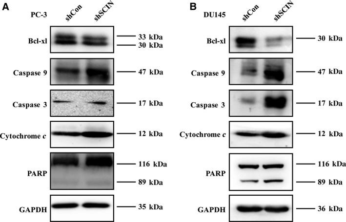 SCIN knockdown activated caspase 3 signalling pathway and induced cytochrome c .