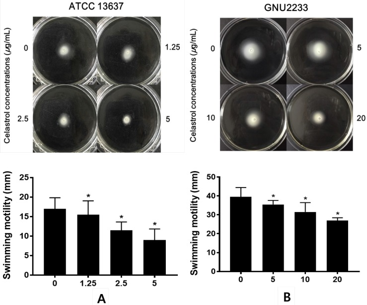 Effect of celastrol on motility of S. maltophilia . Motility assays were performed using 0.15% agar plate containing 1% tryptone and 0.5% NaCl. (A) ATCC 13637 and (B) GNU2233 strains were inoculated in the center of motility agar surface including DMSO 1% (v/v) or celastrol at sub-inhibitory concentrations. The inoculated plates were incubated at 37 °C and the diameter (mm) of circular swimming zone was measured at 24 h. Mean values of triplicate independent studies are shown. Error bars represent standard deviations (SDs). Asterisks (*) indicate statistically significant change (p