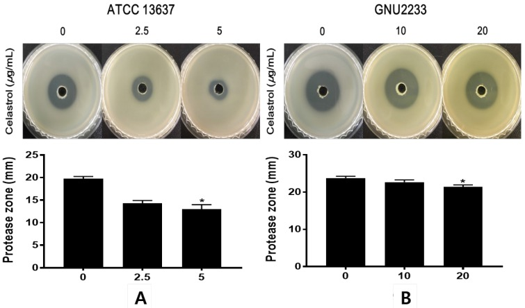 Effect of celastrol on protease production of S. maltophilia . Proteolytic activity was determined using casein agar. (A) ATCC 13637 and (B) GNU2233 cells were incubated with or without sub-inhibitory concentrations of celastrol at 37 °C for 24 h. Secreted protease assays were performed using culture supernatants. Diameters of transparent zones surrounding the holes were measured at 48 h. Mean values of triplicate independent studies are shown. Error bars represent standard deviations (SDs). Asterisks (*) indicate statistically significant change (p