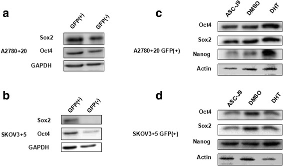 Protein expression of other stem cell genes exhibits the same tendency as Nanog. a and b ) Oct4 and Sox2 expression increased in the GFP (+) cells compared with the GFP (−) cells according to western blot analysis. c and d ) Oct4 and Sox2 expression in the GFP (+) cells clearly increased under DHT treatment compared with ASC-J9 treatment based on western blot analysis, which was also consistent with the Nanog expression trend