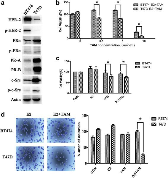 BT474 cells are resistant to tamoxifen. a Characterization of BT474 and T47D cells. Western blot analysis of ER, HER2, PR, and c-Src and their phosphorylation status in both cell lines, and Actin is as a loading control. b BT474 and T47D cells were seeded in 96-well plates at a density of 5000 cells/well and then treated with 4-OH tamoxifen (0–10 μmol/L). After 3 days, MTT assays were performed. c BT474 and T47D cells were seeded in 96-well plates and 24 h after plating, cells were treated with vehicle (CON), 17β-E2 (E2) (10 nmol/L), tamoxifen (TAM) (1 μmol/L), or combination (E2/TAM). After 48 h, MTT assays were performed. The bar graph shows the sensitivity of cells to the indicated treatments. Data represent the mean ± SD of at least three independent experiments. d Effect of tamoxifen on colony formation in BT474 cells. After 14 days, colonies in 6-well plates were imaged and quantified by counting the number of colonies. At least nine wells per treatment group were quantified per value reported. The results show the mean from three independent experiments. * P