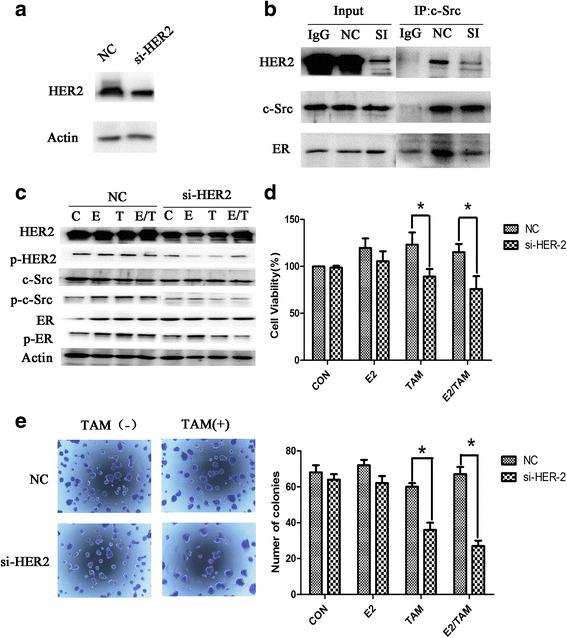 Knockdown of HER2 expression in BT474 cells suppresses the formation of the ER-c-Src-HER2 complex and partially restores tamoxifen sensitivity. a Western blot analysis of BT474 cells transfected with siRNA targeting HER2. b BT474 cells transfected with HER2 siRNA were subjected to immunoprecipitation and immunoblotting as indicated. c Western blot analysis of phosphorylated HER2, c-Src, and ER in BT474 cells knocked down for HER2 expression for 48 h and then treated with 17β-E2 (10 nmol/L) and/or tamoxifen (TAM) (1 μmol/L) for 4 h. d MTT assays in BT474 cells transfected with siRNA targeting HER2 for 24 h and then treated with 17β-E2 (10 nmol/L) and/or tamoxifen (TAM) (1 μmol/L) for another 48 h. e Colony formation assays of BT474 cells transfected with siRNA targeting HER2 for 24 h and treated with 17β-E2 (10 nmol/L) and/or tamoxifen (TAM) (1 μmol/L) for 14d
