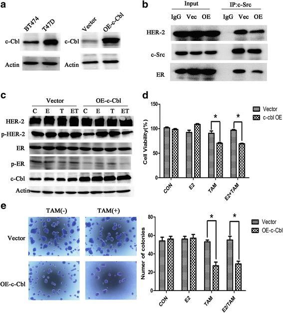 Overexpression of c-Cbl reverses HER2-mediated tamoxifen resistance. a c-Cbl protein level was detected in BT474 and T47D cells. And then, BT474 cells were transfected with 3 × flag-CMV-9-c-Cbl (OE-c-Cbl) or 3 × flag-CMV-9 vector(Vector), and then examined the c-Cbl level by immunoblot analysis. b Immunoprecipitation after overexpression c-Cbl 48 h in BT474. c BT474 cells were transfected with control vector or c-Cbl overexpression plasmids, 24 h later, followed by vehicle, estrogen(10 nmol/L), and tamoxifen (1 μmol/L) or combination treatment for 4 h. Cell lysates were examined by immunoblot analysis using the indicated antibodies. d BT474 cells were transfected with plasmids expressing c-Cbl for 24 h, and then exposed to vehicle, estrogen(10 nmol/L), or tamoxifen(1 μmol/L) treatment for another 48 h. Total viable cell number was measured by MTT assays. Data represent the average of three independent replicates ± SD. (* p
