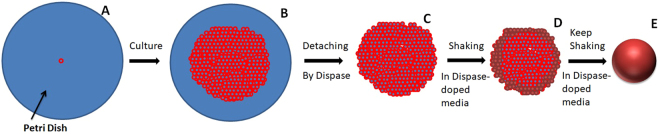 Cartoon illustration of cellular spheroid formation. Single cells are seeded onto petri dishes ( A ), and after a few days of growth, cell sheets form ( B ). Cell sheets can be detached from the petri dishes by dispase and the sheets can be maintained ( C ). Shaking the cell sheets in dispase-doped media allows their edges fold inward ( D ) and eventually the cell sheets become spheroids ( E ).