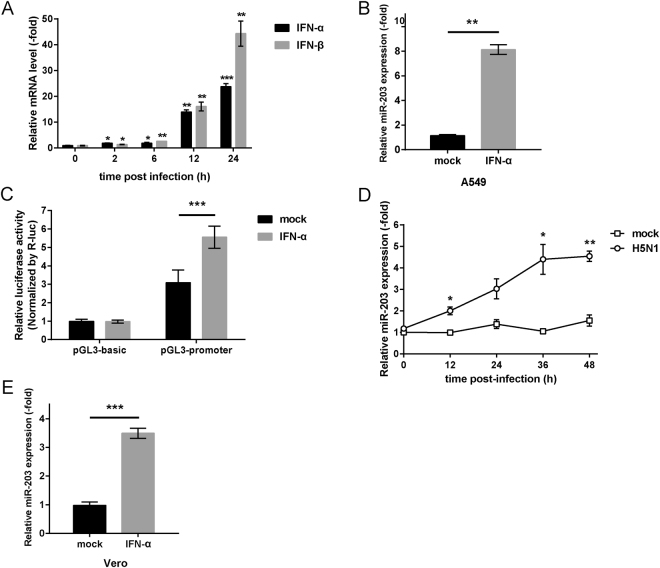 Type I interferon (IFN) participates in transcriptional regulation of miR-203 to promote its expression directly. ( A ) A549 cells were infected with H5N1 (MOI = 2) viruses and harvested at different times (2, 6, 12, and 24 h). The abundance of IFN-α and IFN-β mRNA was measured by quantitative real-time PCR (qPCR). ( B and C ) A549 cells ( B ) and Vero cells ( C ) were treated with IFN-α (2000 units/ml) for 12 h, and expression of miR-203 was measured by qPCR. (D) A549 cells were co-transfected for 24 h with luciferase reporter vectors (pGL3-promoter) and a pRL-TK plasmid (pGL3-basic vectors were used as a negative control). Then, cells were treated with IFN-α for another 12 h followed by measurement of luciferase activity in a dual-luciferase assay. The results are presented as the normalized ratio of Firefly to Renilla luciferase activity. ( E ) Vero cells were mock-infected or infected with H5N1 (MOI = 2) viruses. Cells were harvested at different times (12, 24, 36, and 48 h), and abundance of miR-203 was measured by qPCR. Data are expressed as the mean + SD of three independent experiments. * p