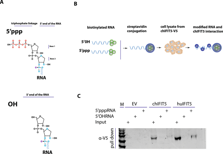 Interaction of chIFIT5 with RNA carrying modifications in their 5′ termini using RNA-protein immunoprecipitation. ( A ) The genomes of negative sense single stranded RNA viruses carry triphosphate linkage (5′ppp) in the first transcribed base of the RNA and removal of 5′ppp structure will leave non-IFN stimulatory hydroxyl group (OH). ( B ) RNA carrying both 5′ppp and OH termini were biotinylated and coated on streptavidin beads before interaction with V5-tagged chIFIT5. Total ribonucleoproteins were isolated and stained for the V5 tag. ( C ) Pull down of biotinylated RNA interacting with chIFIT5 indicated that both human and chicken IFIT5 interacted with RNA carrying 5′ppp structures. EV = empty vector, M = marker.